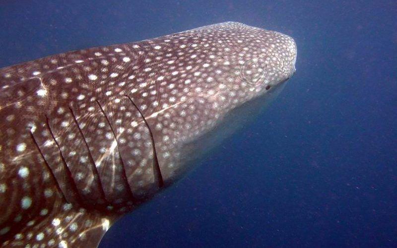 madagascar-tiburon-ballena_8290278459_o