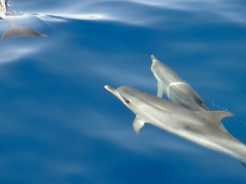 Delfines Croacia Velero